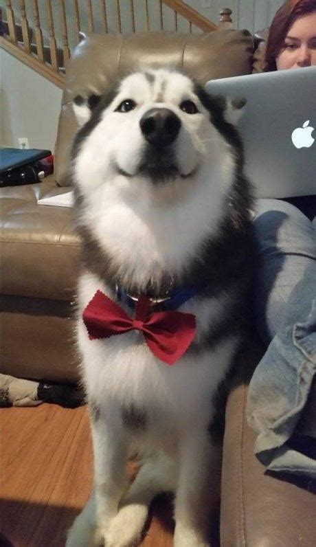 I Has A Hotdog - bow tie - Funny Dog Pictures | Dog Memes