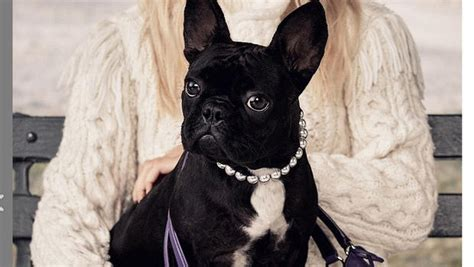Lady Gaga's dog Asia is the new face of Coach - CBS News