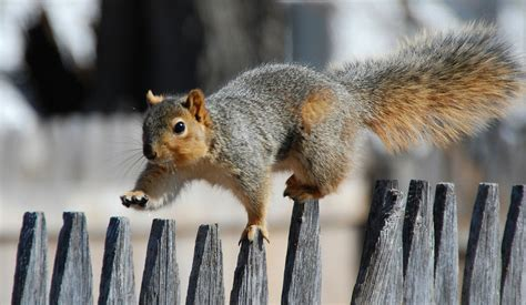 A Squirrel Walks On The Fence Wallpapers HD / Desktop and