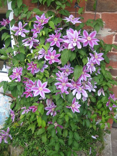 Clematis 'Dr