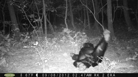 Bear Sleeping in Front of Game Camera for 10 Hours, New