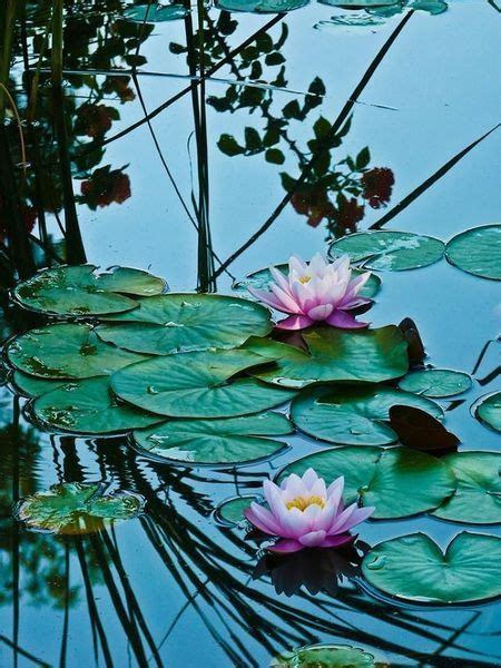 Lotus Pond Pictures, Photos, and Images for Facebook